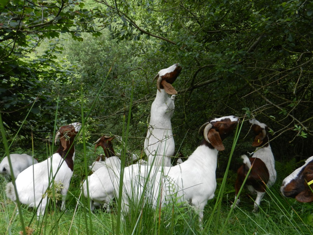 goats in woods